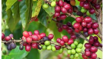 После заморозков в Бразилии начался астрономический рост цен на кофе
