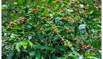 Ученые нашли вид кофе, который устойчив к глобальному потеплению