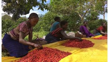 Очищение кофейных ягод: как делают и зачем это нужно